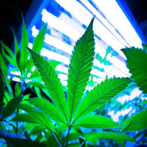 CBG from cannabis and hemp